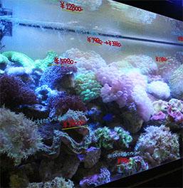 サンゴ 大量入荷です。