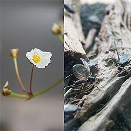 希少花、咲きました。